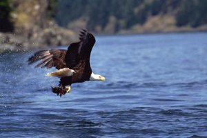 Catching a fish with talons while flying is one way the eagle survives.