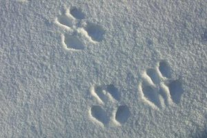 Paw prints are easier to see in fresh snow.