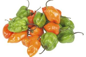 The lantern-shaped habanero pepper is one of the hottest peppers in the world.