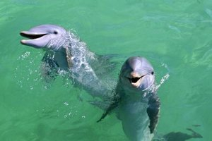 Bottlenose dolphins are sociable, smart and playful.