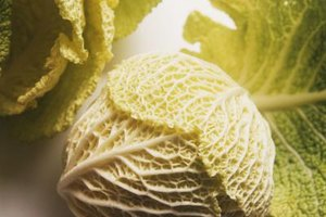 Savoy cabbage displays crinkled leaves and a pale green or yellow color.