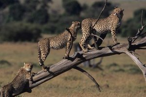 Cheetahs suffer from a lack of genetic diversity.