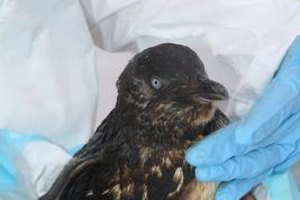 When oils spills occur, wildlife rehab volunteers and experts are called into action.