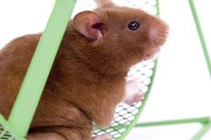 Hamsters are small and cute, but they're not necessarily the best pet choice for young children.