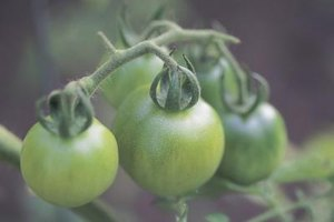 Firm, unblemished green tomatoes freeze best.