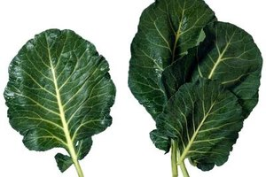 Collards have dark green leaves that grow in rosettes.