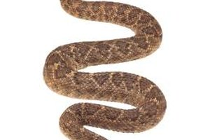 Many people think that rattlesnake tastes similar to chicken or pork.