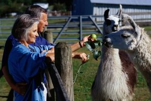 Friendly and inquisitive, llamas have become pet-trade darlings.