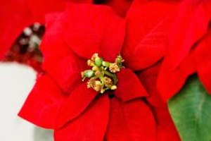 Create a fun and festive poinsettia Christmas craft with your toddler.