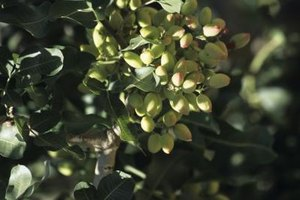In 2008, the U.S. harvested 278 millions pounds of pistachios.