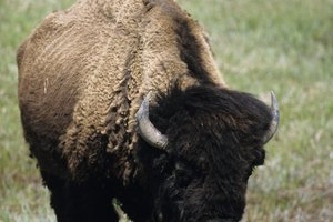 How Many Buffalos Were Killed During the Settlement of the Western United States?