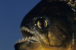 The red-bellied piranha is as fierce as it looks.