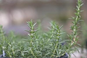 Snip rosemary between spring and fall for the best taste.