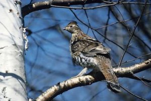 Several types of grouse, including the ruffed grouse, are abundant in the U.S.