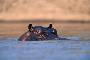 What Does the Hippopotamus Represent in Egyptian Myth?