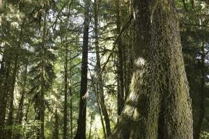 Olympic National Park is known for its immense trees, including these found in the Hoh Rainforest.