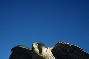 Native American Spiritual Meaning of a Peregrine Falcon