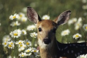 Deer can look harmless, but they often carry the ticks that spread Lyme disease.
