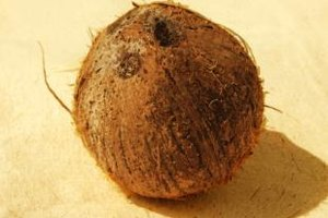 "The dark patches on a coconut are its ""eyes."""