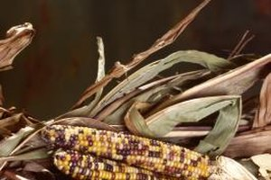 Colonists learned to grow corn from the Indians.