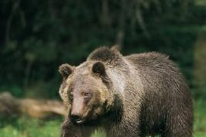 Ethologists study bear habits in the wild.