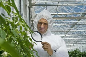 A plant pathologist studies symptoms to determine the causes of plant diseases.