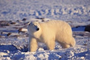 Carefully select a clip from a movie or nature program so your class can see the polar bear in the wild.