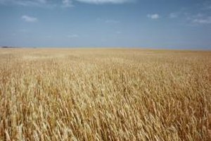 Wheat is a major grain for commodity futures.