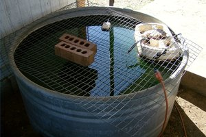 A stock tank is good setup for raising bait fish.