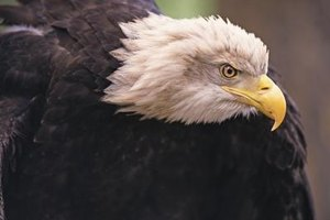 The bald eagle is no longer in danger of extinction.