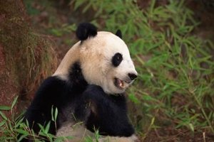 The Organizations That Protect Giant Pandas