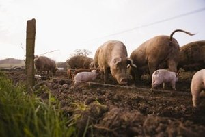 How to Build Troughs for Pigs