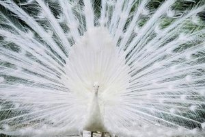 The white peacock can represent the all-seeing, all-knowing eye of God.