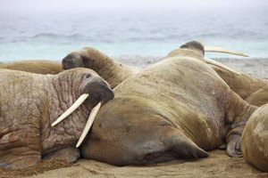 Ivory walrus tusks can fetch nearly $50,000, depending on their age, weight and authenticity.