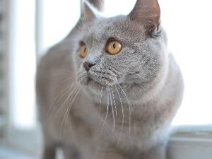 Characteristics of British Shorthair Cats