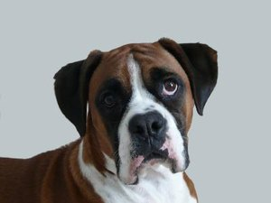 Skin Conditions in Boxer Dogs