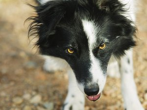 The Care & Maintenance of a Border Collie