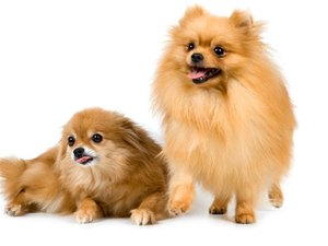 How to Brush a Pomeranian Dog With a Matted Coat