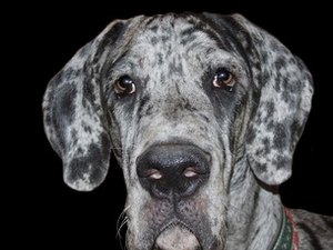 The Coat Types of Great Danes