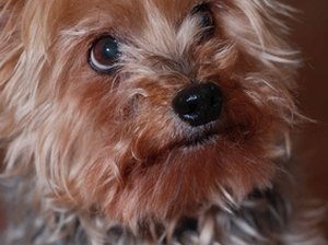 Skin Disorders in Yorkies