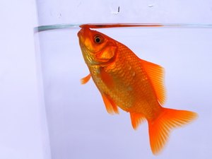 The Respiratory System of a Goldfish