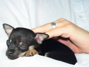 How to Feed Newborn Chihuahua Puppies