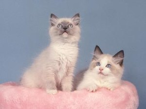 About Ragdoll Cats
