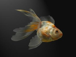 Koi Vs. Goldfish Differences