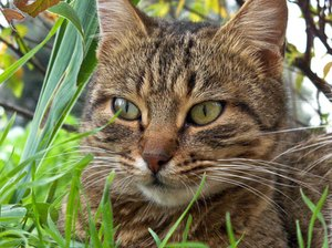 Why Does a Neutered Male Cat Still Spray?