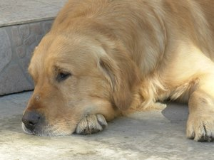 Relief for Golden Retriever Hip Pain