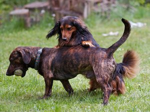 What Is a Piebald Dachshund?