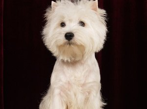 West Highland Terrier with Dry Skin