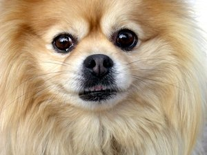 How to Make a Pomeranian's Coat Shine
