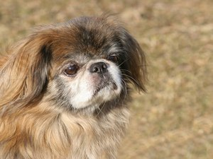 The Best Diet for a Pekingese